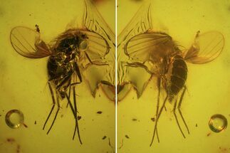 Buy Detailed Fossil Fly (Diptera) In Baltic Amber  - #84583