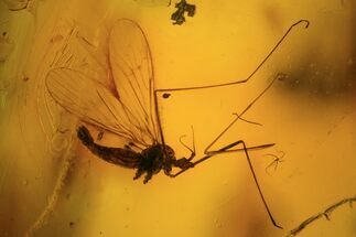 Buy Two Fossil Flies (Diptera) In Baltic Amber - #84604