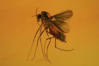 Fossil Fly (Diptera) In Baltic Amber  For Sale, #84638