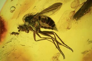 Buy Exceptionally Detailed Fly (Diptera) In Baltic Amber - #84667