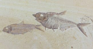 Buy Diplomystus & Knightia Fossil Fish Association - Wyoming - #79825