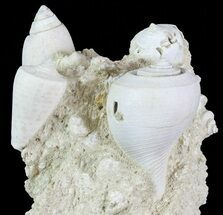 "3.1"" Tall Miocene Fossil (Gastropod) Cluster - France For Sale, #70880"