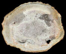 "Buy 6"" Permian Petrified Tree Fern (Tietea) Slab - Brazil - #62155"