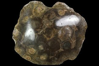 "Buy 2.9"" Polished Fossil Coral (Hexagonaria) - Morocco - #84967"