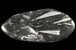 "10.4"" Decorative Tray with Orthoceras Fossils - Morocco For Sale, #85337"