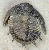 "Buy 1.25"" Akantharges Mbareki Trilobite - Tinejdad, Morocco - #85420"