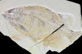 "Buy Bargain, 12.3"" Phareodus Fish Fossil - Uncommon Species - #84229"