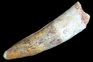 "1.97"" Spinosaurus Tooth - Real Dinosaur Tooth For Sale, #85511"