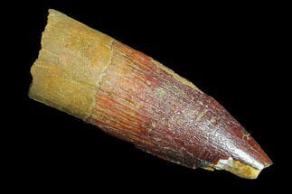 "1.45"" Spinosaurus Tooth - Real Dinosaur Tooth For Sale, #85517"