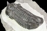 "Large, 3.5"" Morocconites Trilobite Fossil - Morocco - #85549-3"
