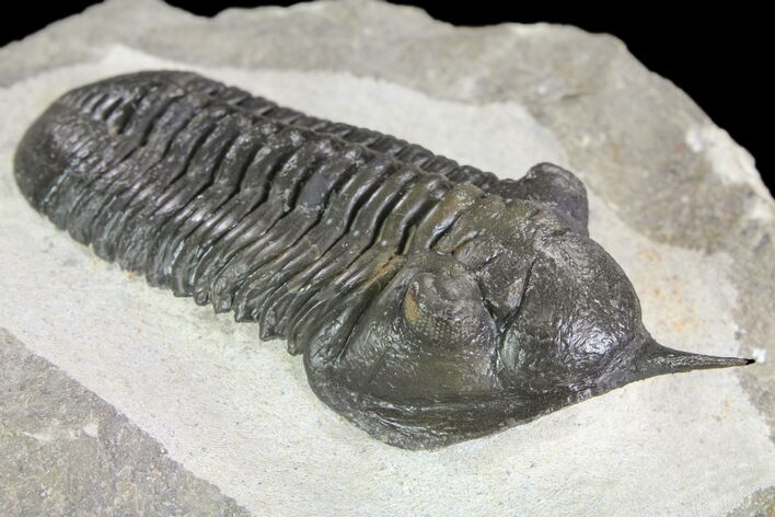 "2.95"" Morocconites Trilobite Fossil - Morocco (Reduced Price"