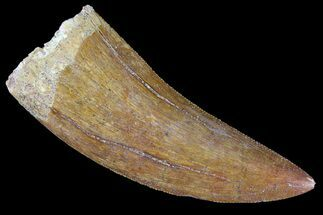 "Buy Serrated, 2.22"" Carcharodontosaurus Tooth - Real Dinosaur Tooth - #85807"