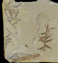 Metasequoia (Dawn Redwood) - Fossils For Sale - #85782
