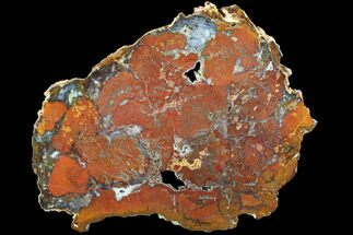 "Rare, Red Hubbard Basin Petrified Wood Slab - 10.1"" For Sale, #85934"