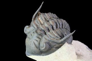 "Buy Detailed, 2.3"" Metacanthina Trilobite - Lghaft, Morocco - #86020"
