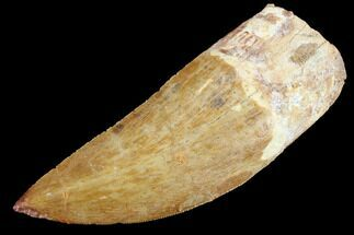 "Buy Serrated, 3.59"" Carcharodontosaurus Tooth  - #85936"