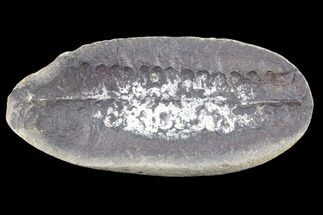 "Buy 3"" Pecopteris Fern Fossil - Mazon Creek - #86329"