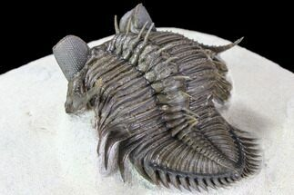 "2"" Tower Eyed Erbenochile Trilobite - Stunning! For Sale, #86021"