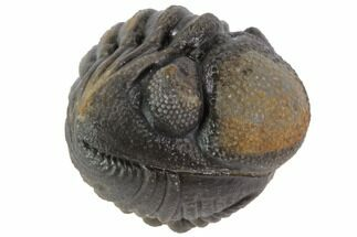 Buy Bumpy Enrolled Barrandeops (Phacops) Trilobite - #86416