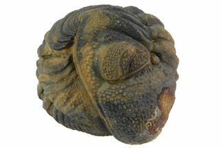 Buy Bumpy Enrolled Barrandeops (Phacops) Trilobite - #86428