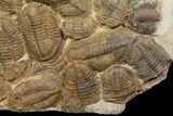 "35"" Plate Of Large Asaphid Trilobites - Spectacular Display - #86537-1"