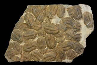 "35"" Plate Of Large Asaphid Trilobites - Spectacular Display For Sale, #86537"