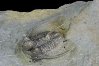 Cyphaspis eximia sp. nov - Fossils For Sale - #86781