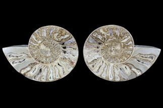 "Buy 12.8"" Choffaticeras (""Daisy Flower"") Ammonite - Madagascar - #86770"