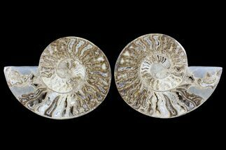 "Buy 10.6"" Choffaticeras (""Daisy Flower"") Ammonite - Madagascar - #86773"