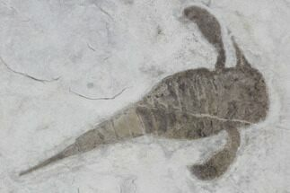 Eurypterus remipes - Fossils For Sale - #86877