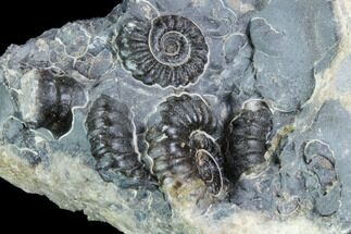 "Buy 2.1"" Ammonite (Promicroceras) Cluster - Somerset, England - #86236"