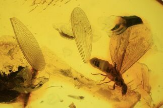 Order Isoptera  - Fossils For Sale - #87114