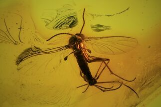 Buy Detailed Fossil Fly (Diptera) In Baltic Amber  - #87118