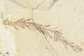 Buy Metasequoia (Dawn Redwood) Fossil - Montana  - #85795