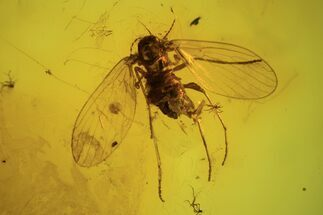 Buy Detailed Fossil Fly (Diptera) In Baltic Amber  - #87223