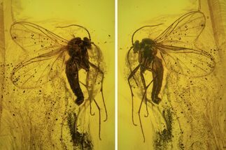 Detailed Fossil Flies (Diptera) In Baltic Amber  For Sale, #87245