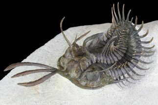"3"" Walliserops Trilobite With Barrandeops - Foum Zguid, Morocco For Sale, #87458"