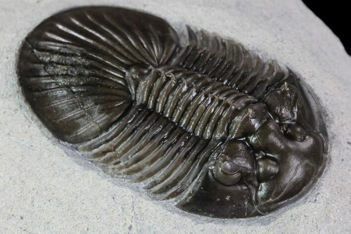 "1.35"" Platyscutellum Trilobite - Tiny Axial Spines & Eye Facets"