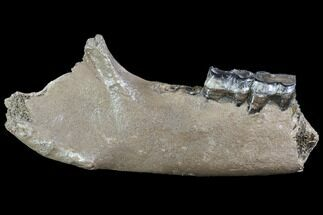"12"" Fossil Rhino (Stephanorhinus) Lower Jaw - Hungary For Sale, #87473"