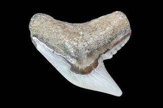Colorful Fossil Tiger Shark (Galeocerdo) Tooth - Virginia For Sale, #87905