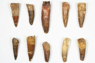 "Buy Wholesale Lot: 1.5-2.5"", Bargain Spinosaurus Teeth - 10 Pieces - #87835"