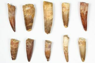 "Wholesale Lot: 1.5-2.5"", Bargain Spinosaurus Teeth - 10 Pieces For Sale, #87839"