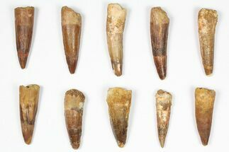 "Wholesale Lot: 1.5-2.5"", Bargain Spinosaurus Teeth - 10 Pieces For Sale, #87851"