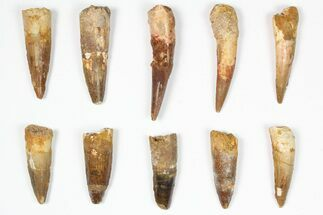 "Buy Wholesale Lot: 1.5-2.5"", Bargain Spinosaurus Teeth - 10 Pieces - #87856"