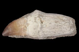 "4.3"" Rooted Mosasaur (Prognathodon) Tooth For Sale, #87992"