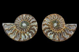 Cleoniceras - Fossils For Sale - #88206