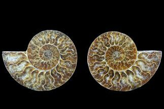 Cleoniceras - Fossils For Sale - #88212
