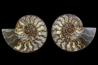 Cleoniceras - Fossils For Sale - #88167