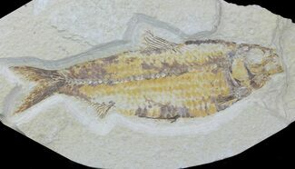 "Buy Large, 6"" Fossil Fish (Knightia) - Wyoming - #88588"