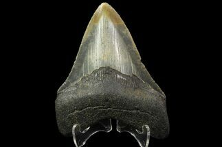Carcharocles megalodon - Fossils For Sale - #88653